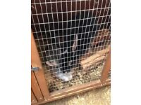 2 half Rex rabbits and hutch ect for sale