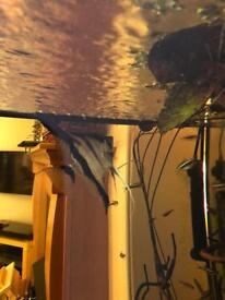 Peruvian altum angelfish tropical
