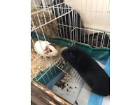 2 Beautiful, Charismatic Guinea Pigs Need a Loving Home