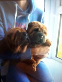 Beautiful shar pei pups , kc reg , excellent family pets