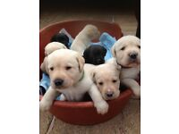 Pedigree Labrador puppies for sale golden or black £700 Ready to go this weekend!