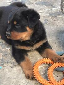 Rottweiler puppy (pedigree Kc registered parent)