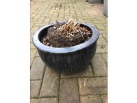 Beautiful glazed pot with 3 year old dahlia