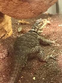Crevice spiny lizards