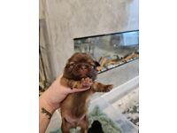 Karashishi shih tzu puppies