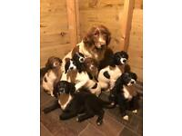 Cocker sprocker spaniel puppies