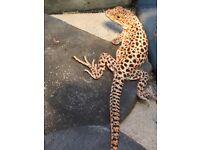 Lizards stunning and tank