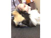Cute furry guinea pigs