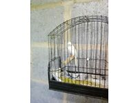 SCOTCH FANCY CANARIES FOR SALE