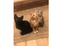 Gorgeous Maine Coon xXx Oriental Kittens