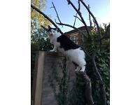 MISSING BLACK AND WHITE LONG HAIR CAT - NO TAIL - SOUTHAMPTON