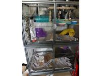2 Female Rats + Complete Cage Setup - Everything You'd Need *REDUCED FROM £300*