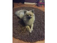 1 year old Pomeranian
