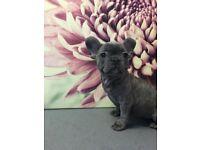 French bulldog girl pup