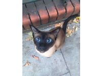 Lost and found Siamese seal point cat
