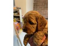 Cockapoo puppy ready 24/09