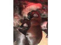 Rottweiler mastiff