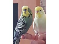 Male & Female Budgies (2) for Sale 18 Months Old With Cage