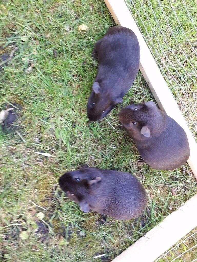2 Female, 1 Male Guinea Pigs