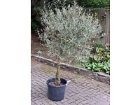 6-7 foot Olive Trees