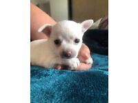 4 chihuahua puppies for sale