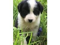 Beautiful female Collie pup