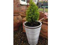 Silver planter and miniature tree