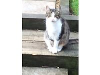 Missing cat called Thomas, missing since Wednesday . White front and paws, tabby back.