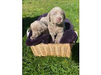 Silver Labrador puppies, kennel club