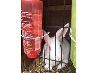 Male White rabbit SOLD