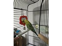 Budgies Alice & Barry looking for a new home