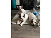 Pedigree French Bulldog Puppies - KC Reg. 2 left