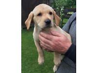 Labrador Puppy KC Registered