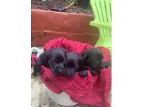 Labrador *2 girls left*