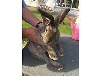 4 Month Old Male Giant Continental Rabbit