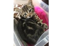 Beautiful tabby girl kittens