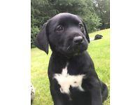 Stunning Dalmador Puppies