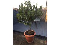 Well established garden tree in large pot