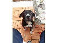 female staffy 4years old