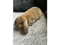 Female agouti rabbit