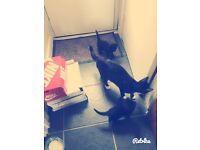 2 lovely black kittens to new home