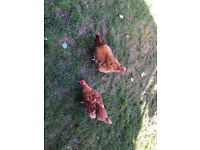 2 egg laying warren chicken available