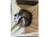 12 Weeks old kitten for sale litter trained