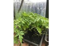 Cucumber and Tomato Plants