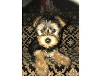 Yorkshire Terrier / Yorkie Pups