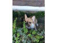 KC registered Adorable Brindle French Bulldog