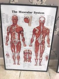 Framed anatomy charts