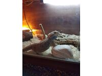 Sadly looking to rehome our female bearded dragon asap