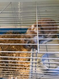 Male brown and white rabbit free to a loving home