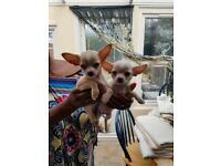2 Girl Chihuahua pups for Sale